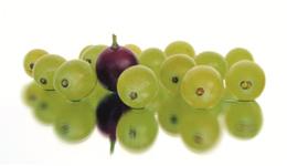 OPC de pépins de raisin