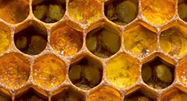 La gelée royale, véritable trésor de la ruche !