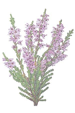 Bruyère plante