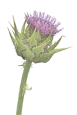 Herbier chardon marie