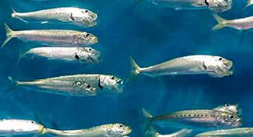 Oméga3-anchois