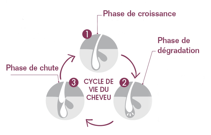 cycle du cheveux